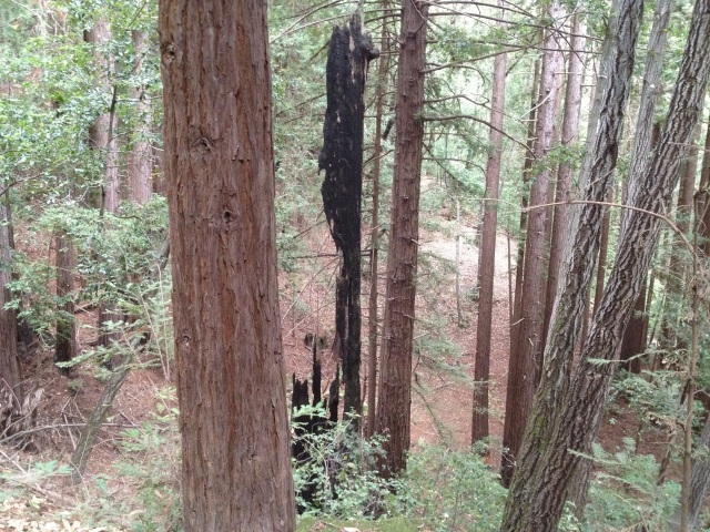 Unbalanced 60 foot high bit of a burned-out redwood